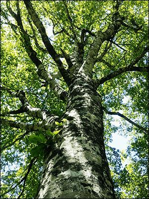 広大なブナの原生林がのこるエリアです。木のぬくもりと癒しを感じてみませんか?