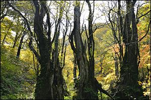 天生県立自然公園内のブナの木です