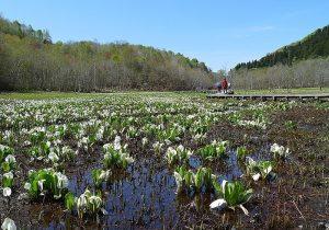 池ケ原湿原とミズバショウの写真です